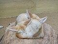 Schlafende Wüstenfüchse.JPG