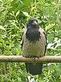 Schlosspark Glienicke - Kraehe (Crow) - geo.hlipp.de - 36931.jpg