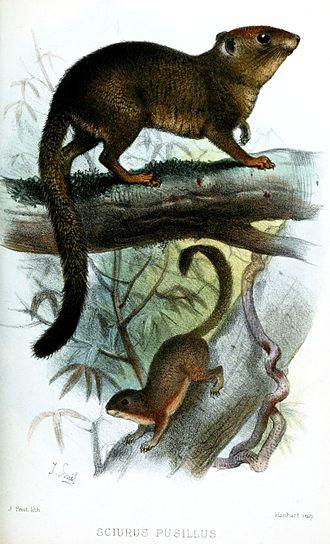 Neotropical pygmy squirrel - Image: Sciurus Pusillus Smit