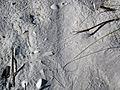 Scratch lines (pseudotraces) on backbeach sand (Cayo Costa Island, Florida, USA) 4 (24295958672).jpg