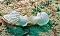 Sea Slug (Ardeadoris egretta) (8502626433).jpg