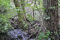 Seattle - Thornton Creek -beaver dam.jpg