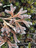 Selaginella rupestris iN-34325628.jpg