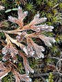 Selaginella rupestris iN-34325628.jpg