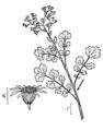 Senecio glabella-linedrawing-1.png