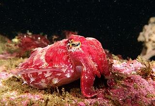 <i>Sepia mestus</i> species of mollusc