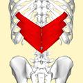 Serratus posterior inferior muscle back3.png