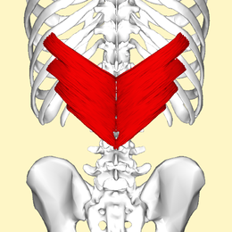 Serratus posterior inferior muscle back3.png