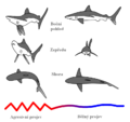 Shark threat display CZ.PNG