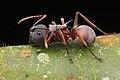 Shattuck 53002, Polyrhachis, Danum Valley, Sabah-web (5042966534) (2).jpg