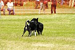 Sheep Dog Display (2621007229).jpg