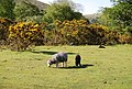 Sheep and Black lamb grazing near Wasdale Head - geograph.org.uk - 1328603.jpg