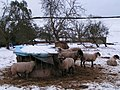 Sheep in the snow at Bidwell - geograph.org.uk - 1657687.jpg
