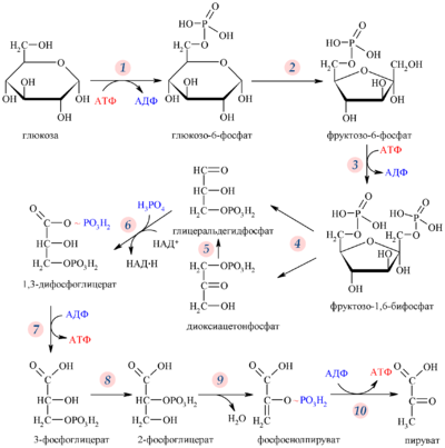 Схема гликолиза