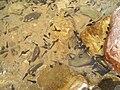 Shennongjia-tadpoles-5455.jpg