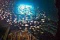 Ship wreck Giannis D, duesterer Beilbauchfisch (Pempheris adusta) 2017-04-22 09-36-08 Egypt-7985.jpg