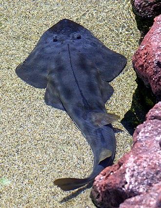 Shovelnose guitarfish - Dorsal view