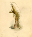 Shrimp Costume Krewe of Proteus 1896.png