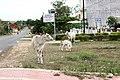 Sihanoukville. Cows on the street.jpg