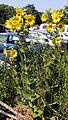 Silphium integrifolium3.jpg