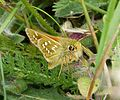 Silver-spotted Skipper, male. Hesperia comma - Flickr - gailhampshire (5).jpg