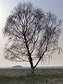 Silver birch tree near Picket Corner, New Forest - geograph.org.uk - 388780.jpg