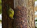 Siskin on feeder - geograph.org.uk - 1295919.jpg