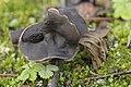Slate Grey Saddle - Helvella lacunosa (38558311411).jpg