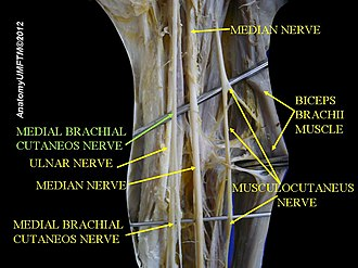 Medial cutaneous nerve of arm - Image: Slide 1hhhh