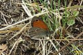 Small heath (NH) (8120450760).jpg