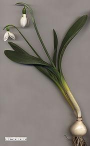 Snowdrop Galanthus elwesii