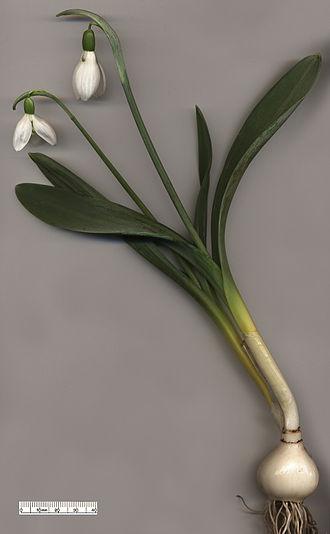 Henry John Elwes - Image: Snowdrop Galanthus elwesii
