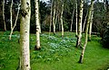 Snowdrops in Gardens of Easton Grey House, Wiltshire 2015 (geograph 5817866).jpg