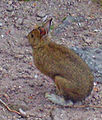Snowshoe hare on Balsam Lake Mountain summit.jpg