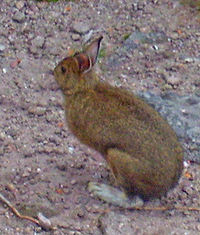 A brown rabbit with white feet standing on a pinkish-brown pebbly surface