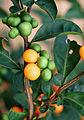Solanum diphyllum - USDA ARS 4.jpg