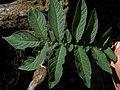 Solanum etuberosa (3440822384).jpg