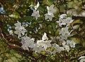 Solanum jasminoides B.JPG