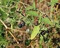 Solanum nigrum 20091015 2.jpg
