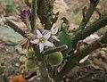 Solanum quitoense 2.jpg