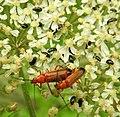 Soldier beetles and little black bugs (27836008680).jpg