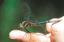 A dragonfly sitting on a human's finger