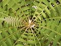 Sonchus palmensis (Los Tilos) 05.jpg