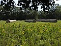 Sonnenblumen - panoramio.jpg