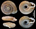 Soosia diodonta - Caldarusani Rumania - Meijer F0036-0040 (Wikimedia).jpg