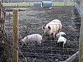 Sow and piglets on Luddenham Court Farm - geograph.org.uk - 302906.jpg