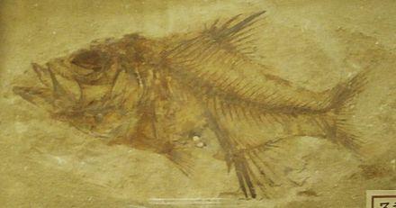 Sphenocephalus