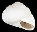 Sphincterochila baetica shell.jpg