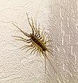 Spinnenläufer IMG 8988.jpg