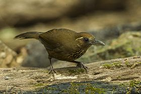 Spot-breasted Laughingthrush - Thailand S4E9232 (19483012432).jpg